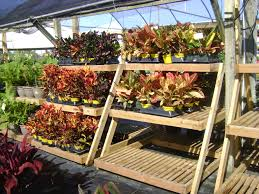 Croton Tropical Plant Buy Crotons In Tampa Brandon Riverview Apollo Beach