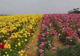 flowers san diego beautiful flower fields 2018 carlsbad flower fields