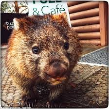 Wombat Memes - itchy wombat finds perfect spot for scratch in tasmania daily