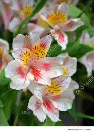 alstroemeria flower flowers alstroemeria flowers stock picture i1258972 at featurepics