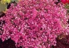 bulk baby s breath bulk baby s breath seeds for sale buy bulk baby s breath flower