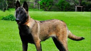 belgian shepherd uses dna evidence exonerates dog from death sentence in us