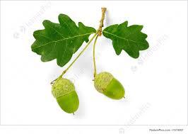 White Oak Leaf Picture Of Oak Leaves And Acorns