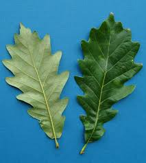 White Oak Tree Kd Woods Company Seeing The Oak Trees For The Forest The