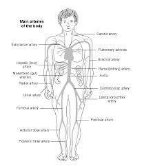 Picture Diagram Of The Human Body Arteries Of The Body Diagram Patient
