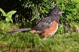 my bird blog spotted towhee