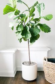 71 best fiddle leaf fig tree images on pinterest indoor plants