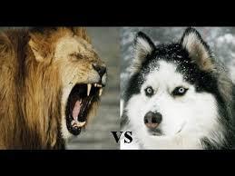 imagenes sorprendentes de lobos leon vs husky sorprendente pelea brutal youtube