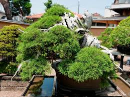 top 5 oldest bonsai trees bonsai empire
