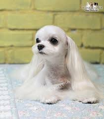 joypia yorkshire haircuts korean dog grooming style maltezer i love this soo cute dog