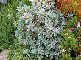 Rhododendron U0027ramapo U0027 Is An Evergreen Compact Shrub In My Garden