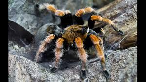 tarantula big ngsversion 1412643534793 jpg