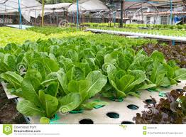 Hydroponics Vegetable Gardening by Hydroponic Vegetables Growing In Greenhouse Stock Photo Image