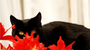 halloween black cat wallpaper flowers halloween autumn photography fall cat cute sweet animals