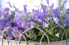 flowers beauty beautiful flowers pot summer springtime purple