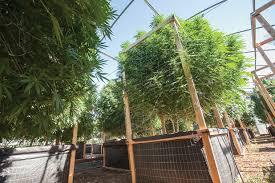 july outdoor grow guide marijuana