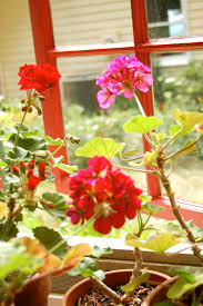 The Geranium On The Windowsill Just Died How To Overwinter Geraniums