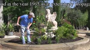 plant leyland cypress trees correctly fast growing tree youtube