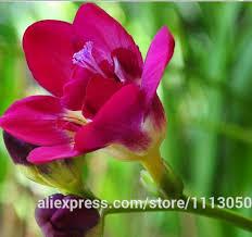 freesia flower best quality freesia seeds freesia potted seed freesia flower