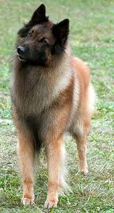 belgian shepherd dog tervuren dog wikipedia