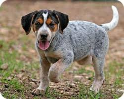 names for a bluetick coonhound rochester ny beagle bluetick coonhound mix meet tessa a puppy