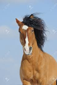mustang horse mustang horse stock photo picture and royalty free image image