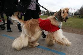 afghan hound of america dogs ranked