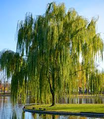 weeping willow shade trees for sale fast growing trees