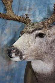 mule deer morris outdoors taxidermy