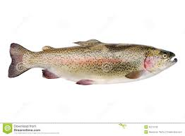 rainbow trout royalty free stock photos image 35272738