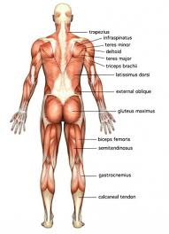 Picture Diagram Of The Human Body Diagram Of The Human Body Muscles Human Anatomy Diagram