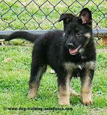 8 week old australian shepherd training german shepherd puppy training guide