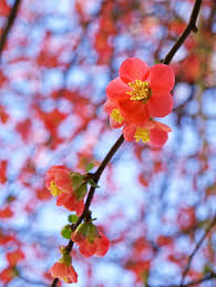 garden flowers the japanese quince u2013 thorny but beautiful