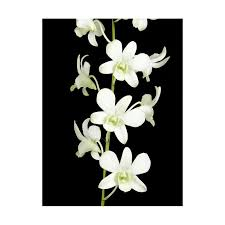 white dendrobium orchids dendrobium orchids white 70 stems florasourcedirect buy