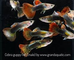 cobra guppy for freshwater aquarium fish export company from