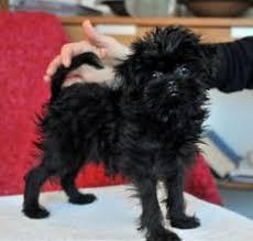 affenpinscher uk breeders affenpinscher breed information and pictures united canine