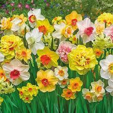 brecks premium flower bulbs shop now for iris day lily daffodil