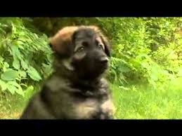 belgian sheepdog 101 dogs 101 german shepherd youtube