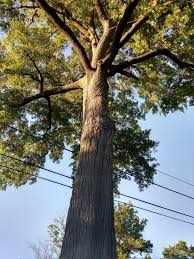 how are the oldest trees in d c popville
