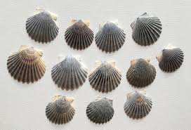 grey scallop shells bulk sea shells for crafting and home decor