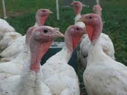 best place to buy turkey for thanksgiving best places to buy a turkey near detroit cbs detroit