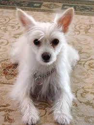 american eskimo dog short hair didi the american eskimo dog mix designer dog photo gallery 8393