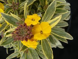 Fragrant Plants Erysimum Walberton U0027s Fragrant Star U003d U0027walfrastar U0027 Planthaven