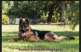 belgian sheepdog puppies for sale in florida german shepherd puppies for sale in florida ruskin house of