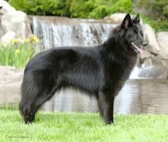 belgian shepherd rescue dogs belgian sheepdogs black ice belgian sheepdogs and schipperkes