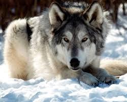 imagenes sorprendentes de lobos un lobo fingió su muerte para vengarse de sus cazadores