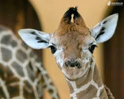 giraffes images giraffes hd wallpaper and background photos 24515818