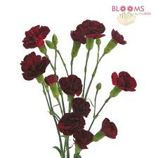 Wholesale Carnations Mini Carnations Burgundy Wholesale Blooms By The Box