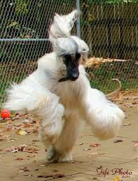 afghan hound lifespan afghan hounds can develope great speed afghan hounds pinterest