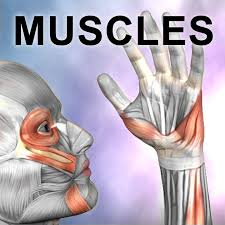 Quiz Anatomy Learn Muscles Anatomy Quiz U0026 Reference On The App Store